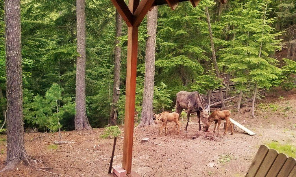 Jeff Pugh moose (2) 1200x718